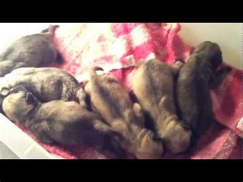 pug labor delivery pug giving birth delivery new puppies vidoemo emotional unity