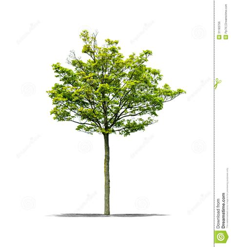 white or green tree green tree on a white background royalty free stock image