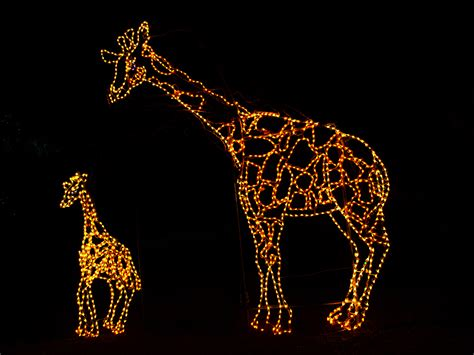 Giraffe Light giraffes escapingabroad