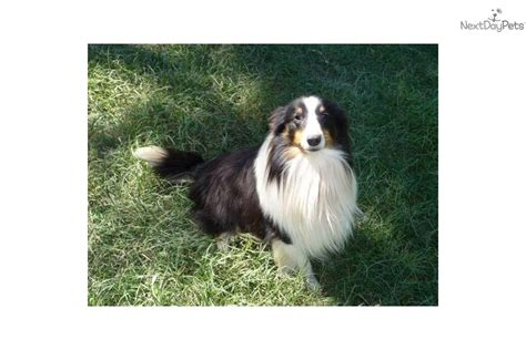 sheltie puppies for sale in ga shelties for sale breeds picture