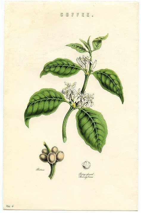Kitchen Herb by Antique Botanical Ephemera Coffee Plant Instant Art