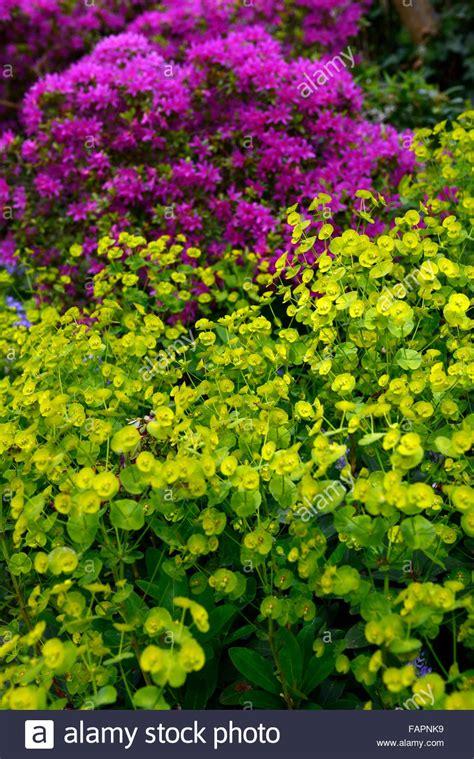 azalea color euphorbia palustris lime green purple azalea flower