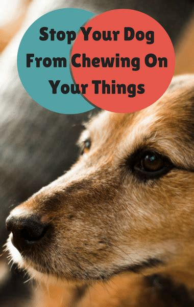how to get cesar millan to your cesar millan how to get your to stop chewing your things