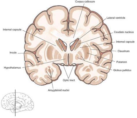 frontal section of brain overview of the central nervous system gross anatomy of