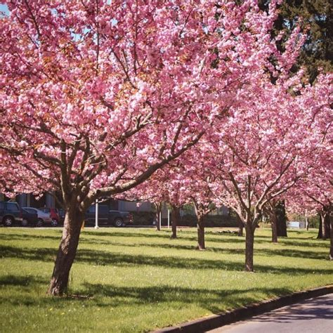 b q cherry tree kwanzan cherry for sale the tree center