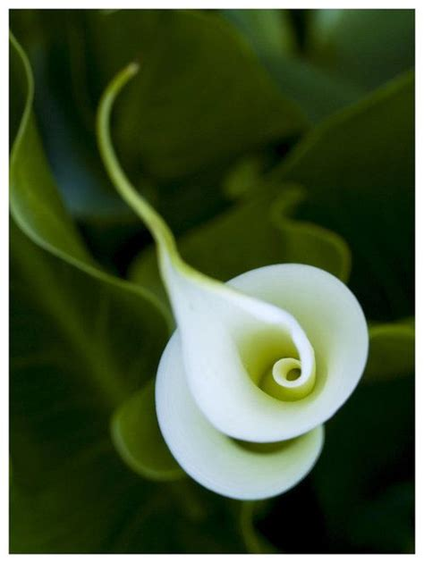 top 28 what does a calla look like what does a calla look like 28 images growing calla