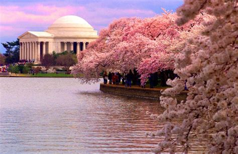d c cherry trees don t miss 2012 national cherry blossom festival washington dc chic traveler
