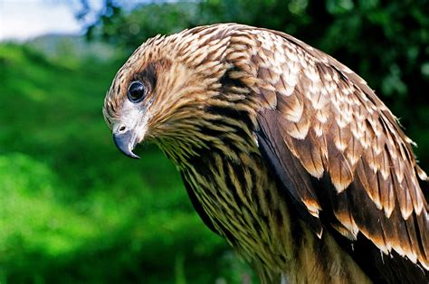 wildlife bird prey wallpapers for desktop 2011
