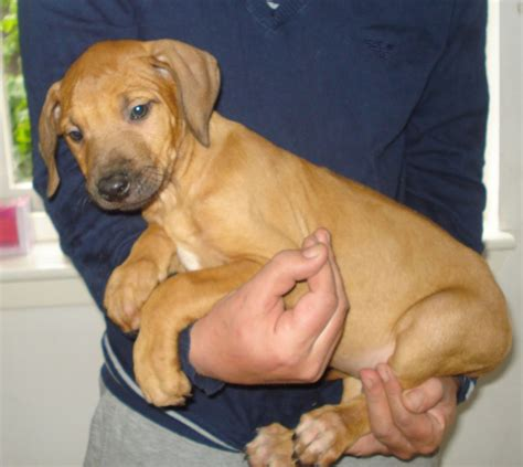 registered rhodesian ridgeback puppies for sale ridgeback puppies for sale motherwell scotland motherwell lanarkshire pets4homes