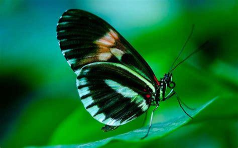 imagenes de mariposas juntas mariposa informaci 243 n y caracter 237 sticas