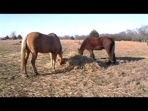 how do you when a is in heat how much hay do you feed a free choice winter feeding for heat part 2