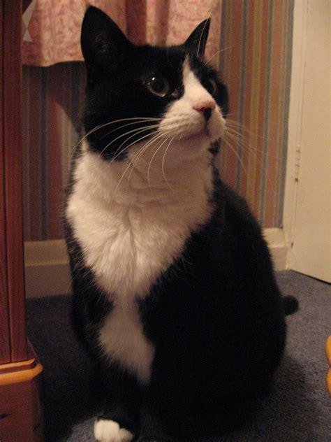 adopt a tuxedo adopt a cat allpaws