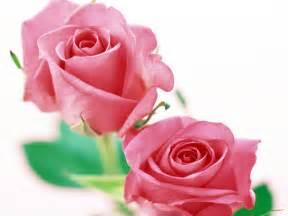 imagenes de rosas unicas wallpapers de rosas fondos de escritorio de rosas