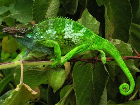pictures to on chameleon info facts and new photos the wildlife