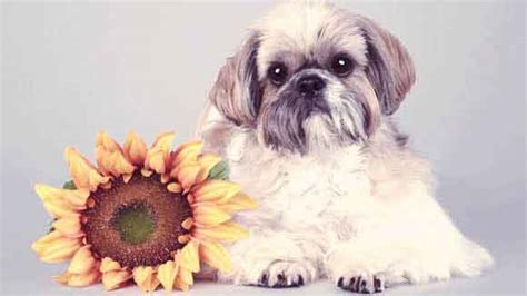 shih tzu respiratory problems shih tzu health problems petcarerx