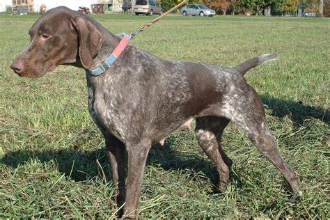 german shorthaired pointer puppies for sale in indiana german shorthaired pointer puppy for sale near south bend michiana indiana