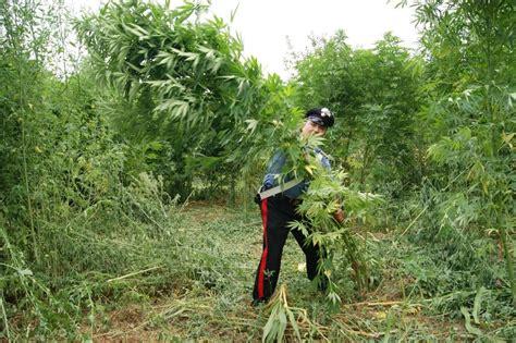 sequestrata piantagione canapa a caulonia riviera web