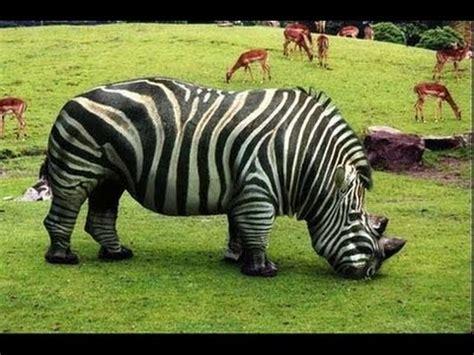 fotos animales hibridos reales top 10 animales h 237 bridos m 225 s incre 237 bles del mundo youtube