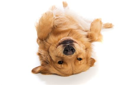 what is the best puppy food for golden retrievers best food for golden retriever goldenacresdogs