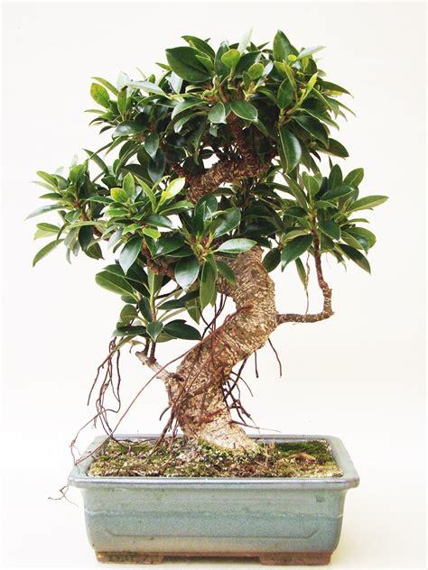 genki bonsai ficus fi13 1 genki bonsai