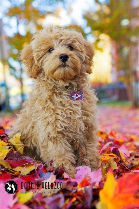 goldendoodle puppy allergies 1000 ideas about poodle mix on labrador mix