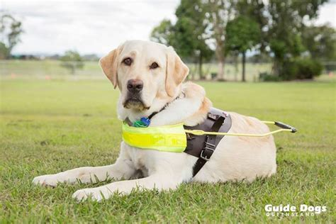 how do guide dogs get trained raising a guide and raising awareness guide dogs queensland brisbane