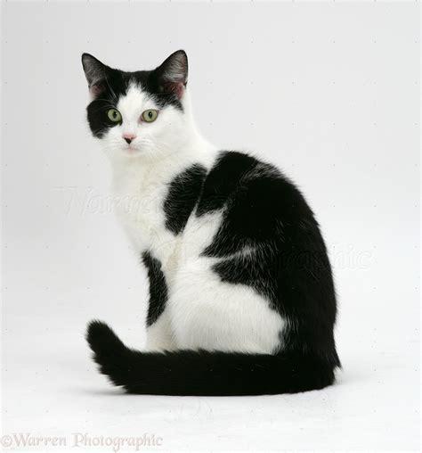 white black cat black and white cat photo wp26258