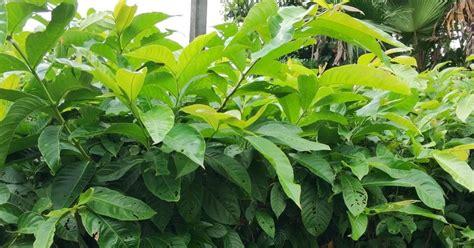 Biji Bunga Bungur Putih menyediakan tanaman pohon bunga bungur banyak manfaat