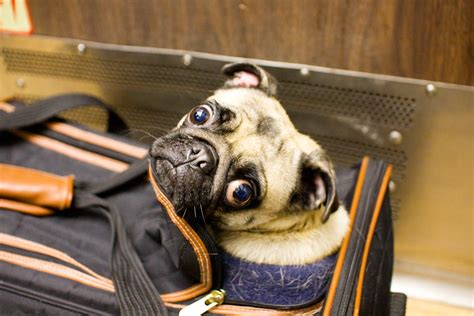 can you take dogs on amtrak amtrak allowing pets to travel on trains petswelcome