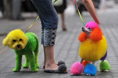 colored dogs colored dogs in china the world of cutee