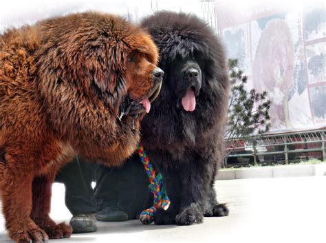 large russian breeds russian breeds large pet photos gallery j72jdepb5g