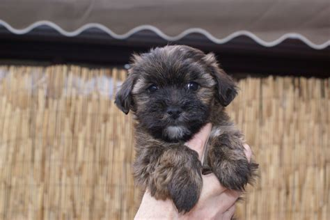 lhasa apso yorkie cross lhasa cross terrier puppies norwich norfolk pets4homes