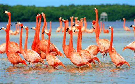 flamingo wallpaper images flamingos wallpaper