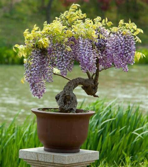 can i grow wisteria in a pot k k club 2017