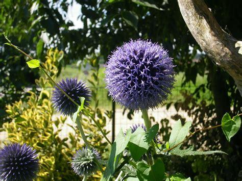 fiori a palla viola orti in progress echinops un tocco di
