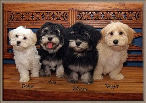 elfin havanese 849 best images about havanese babies on adoption best dogs and coton de