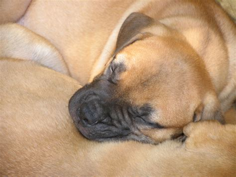 mastiff puppies for sale near me american mastiff traits photo