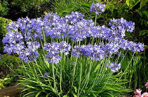 how to grow an agapanthus from seed landscaping