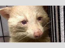 Rare Albino Raccoon May Be Shy but the Camera Loves Him ... Justin Tv