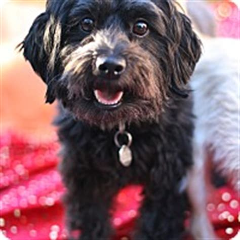 shih tzu rescue glasgow studio city ca scottie scottish terrier shih tzu mix meet sweet shamus a
