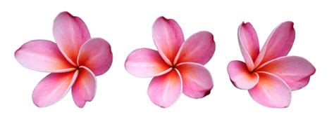 fun flower facts plumeria grower direct fresh cut