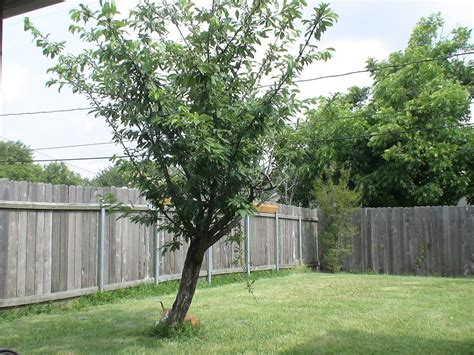 trees for the backyard panoramio photo of backyard tree
