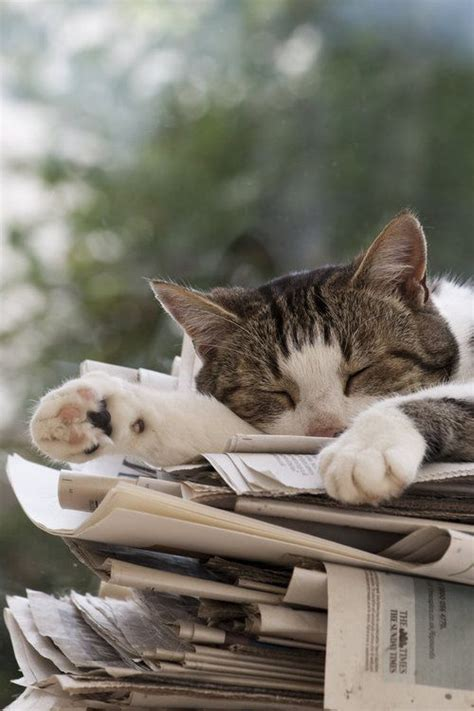 Cat In The Essay by Reading Cats And Newspaper On