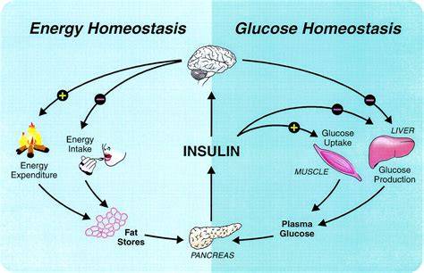 Teh Insulin insulin signaling in the central nervous system diabetes