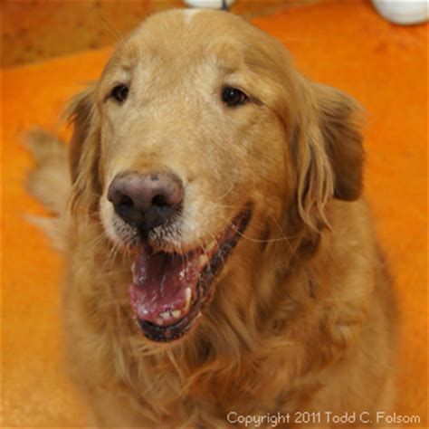 neuse river golden retriever rescue nc volunteers make a difference