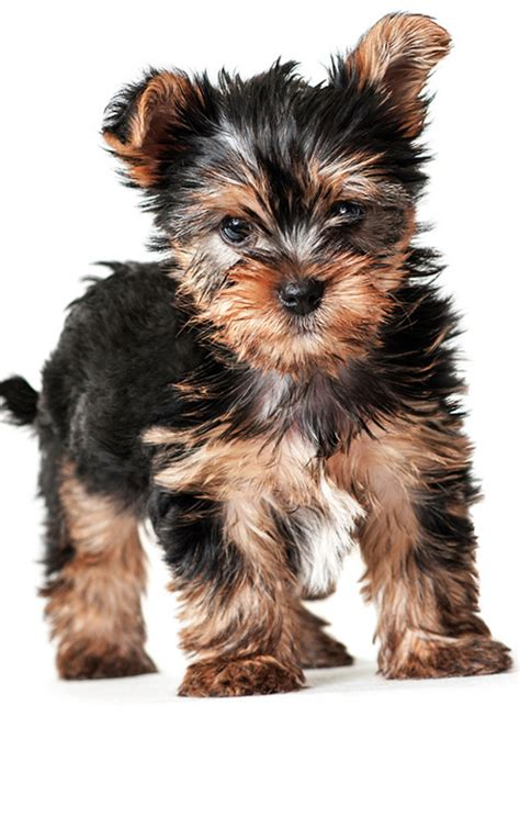 what you need to about yorkie puppies yorkie growth stages my yorkies