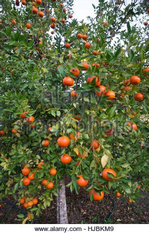 central florida fruit trees orange laden fruit trees in an orchard stock photo