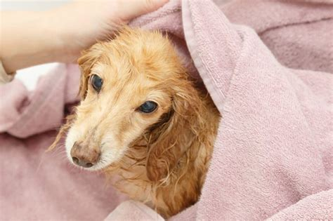 witch hazel for dogs is witch hazel safe for dogs cuteness