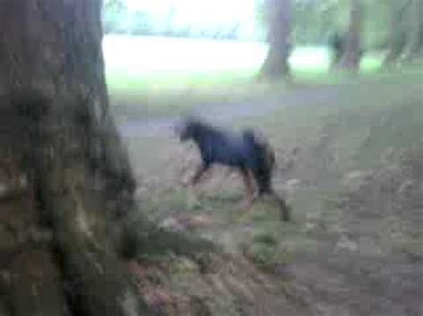 killer rottweiler killer rottweiler on a spree o