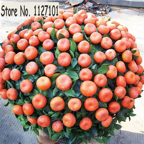 planting potted fruit trees fruit orange seeds courtyard garden potted fruit tree